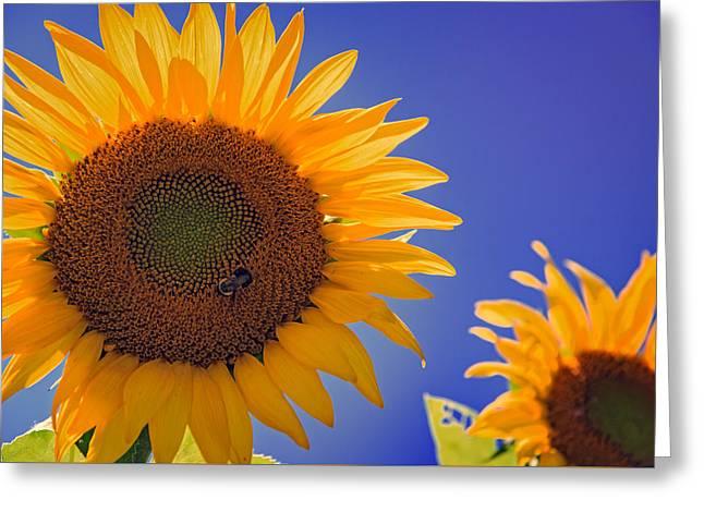 Sunflower Radiance Greeting Card