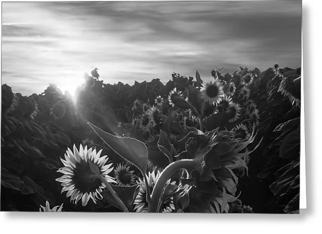 Sunflower Rise In Black And White Greeting Card