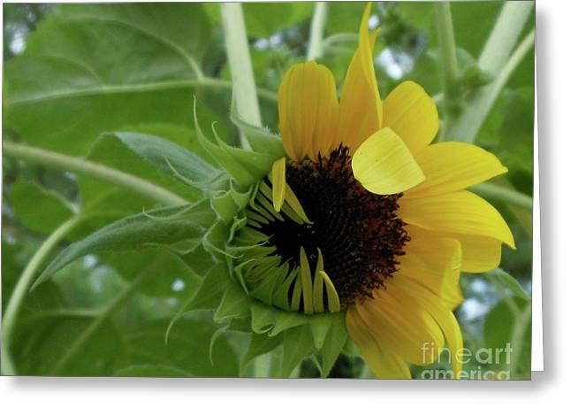 Sunflower Rising Greeting Card