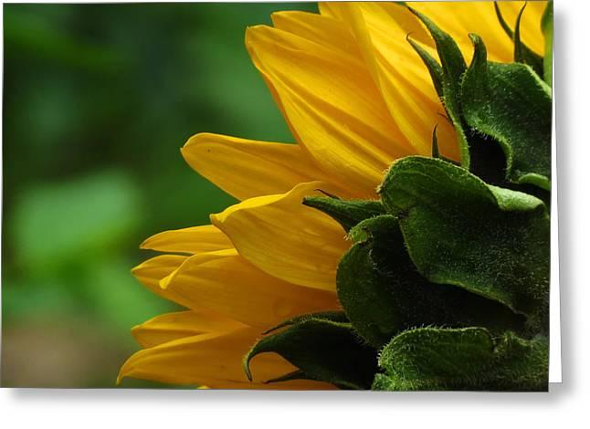 Sunflower Series I Greeting Card