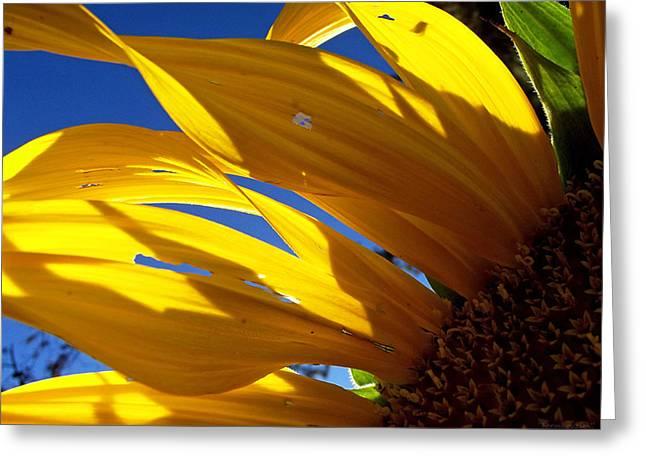 Sunflower Shadows Greeting Card