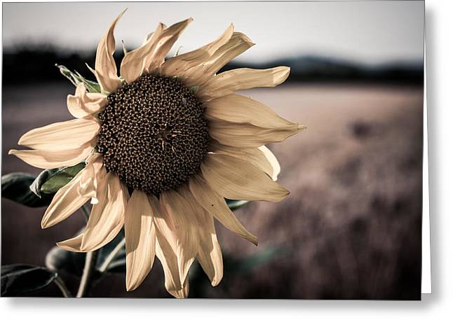 Sunflower Solitude Greeting Card