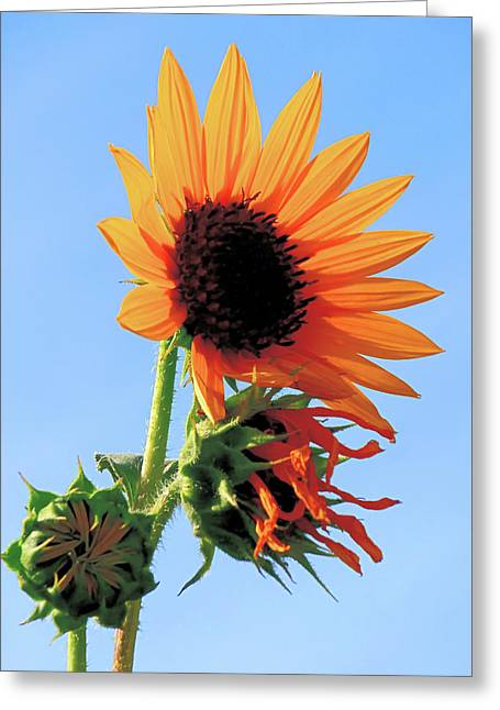 Sunflower - Stages Of Growth Greeting Card