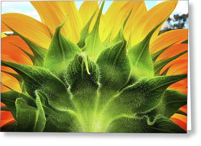 Sunflower Sunburst Greeting Card