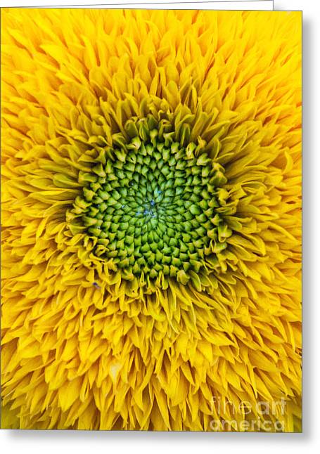 Sunflower Teddy Bear Greeting Card