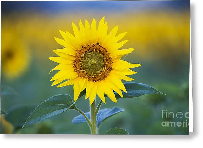 Sunflower Greeting Card by Tim Gainey
