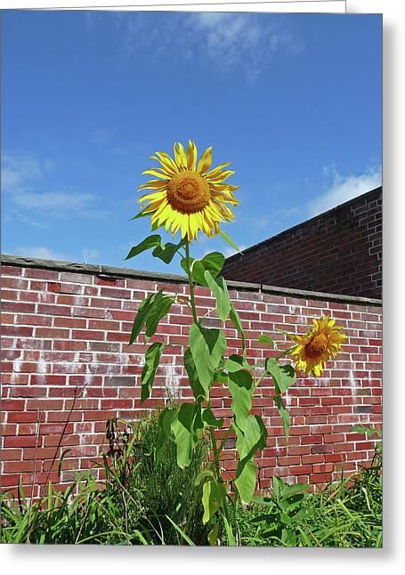 Sunflower Under Blue Skies Greeting Card by Margie Avellino