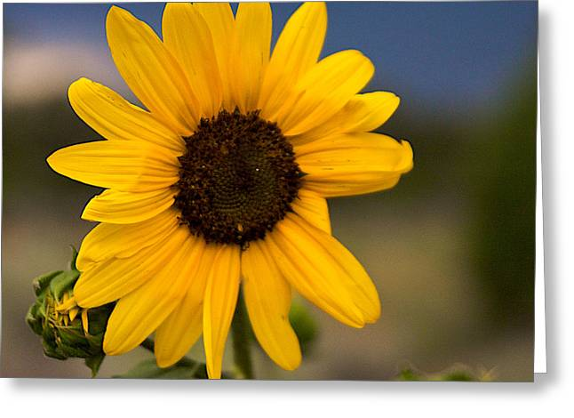 Sunflower Greeting Card by William Wetmore