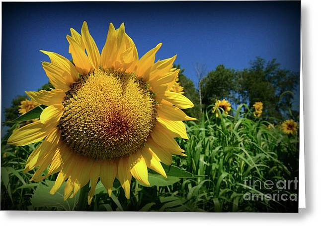 Sunflower With Blue Sky Greeting Card by Paul Ward