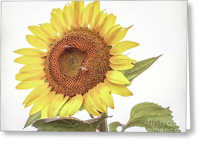 Greeting Card featuring the photograph Sunflowers 10 by Andrea Anderegg