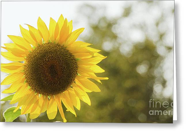 Greeting Card featuring the photograph Sunflowers 12 by Andrea Anderegg