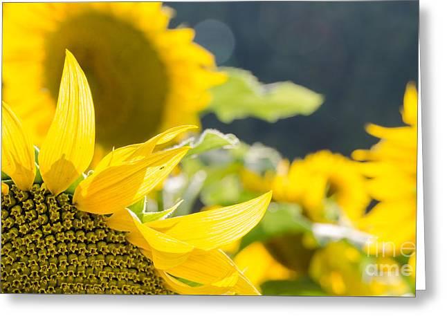 Sunflowers 14 Greeting Card