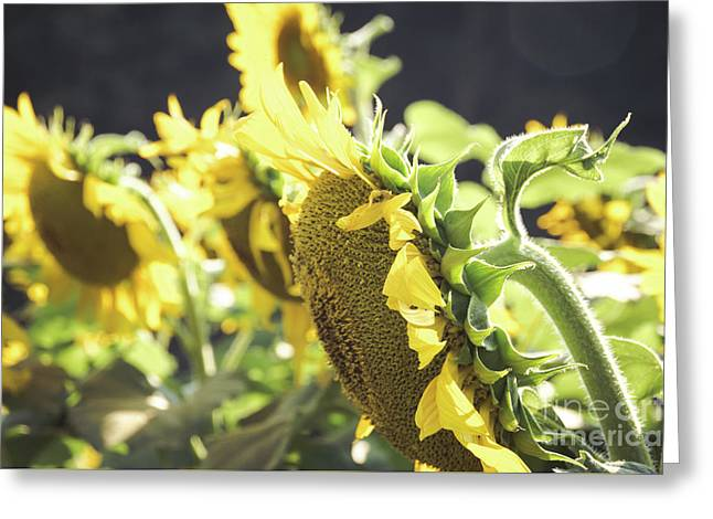 Greeting Card featuring the photograph Sunflowers 4 by Andrea Anderegg