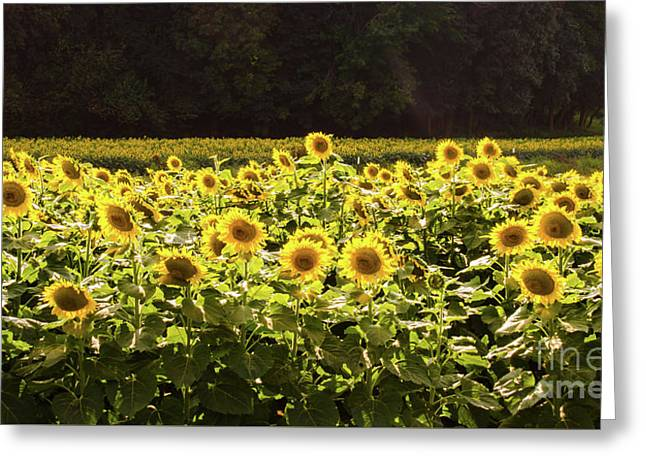 Greeting Card featuring the photograph  Sunflowers 5 by Andrea Anderegg