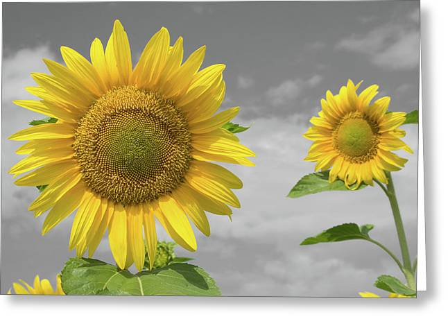 Sunflowers V Greeting Card