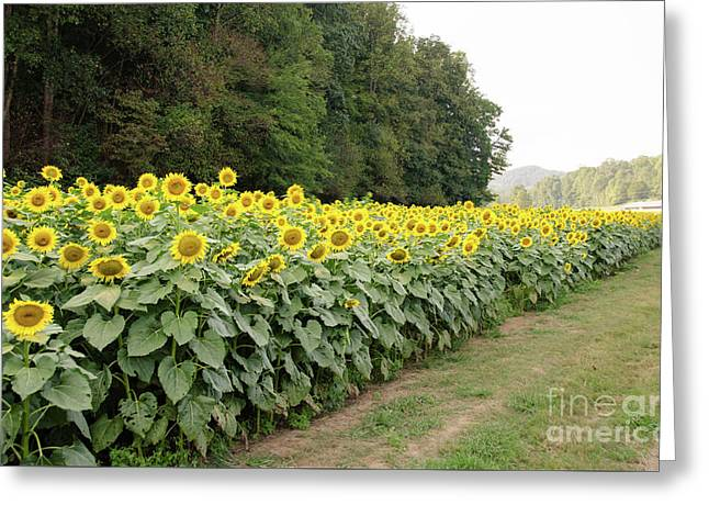 Greeting Card featuring the photograph  Sunflowers 6 by Andrea Anderegg
