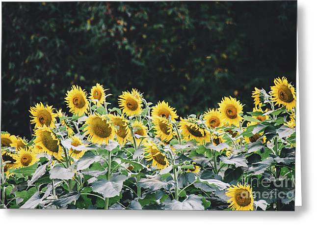Greeting Card featuring the photograph Sunflowers 7 by Andrea Anderegg