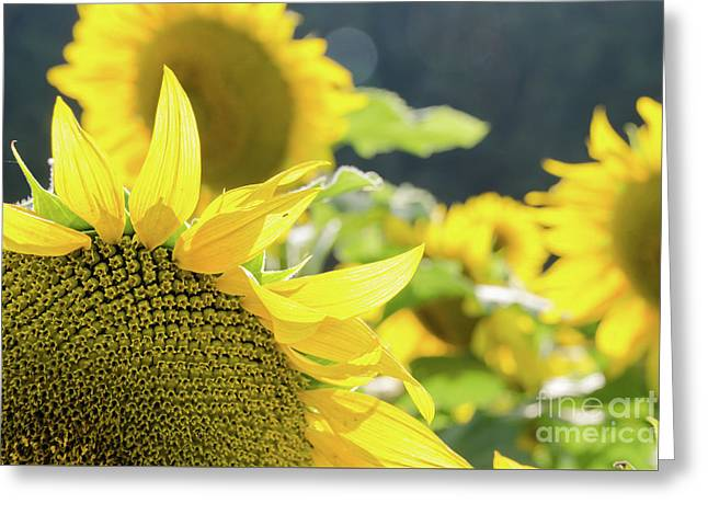 Greeting Card featuring the photograph  Sunflowers 8 by Andrea Anderegg
