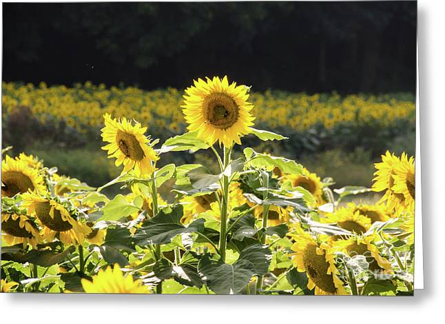 Greeting Card featuring the photograph Sunflowers 9 by Andrea Anderegg