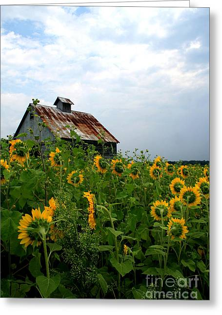 Sunflowers Along Rt 6 Greeting Card