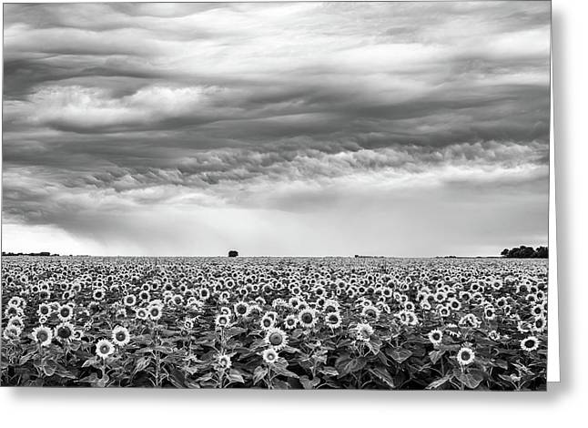 Sunflowers And Rain Showers Greeting Card