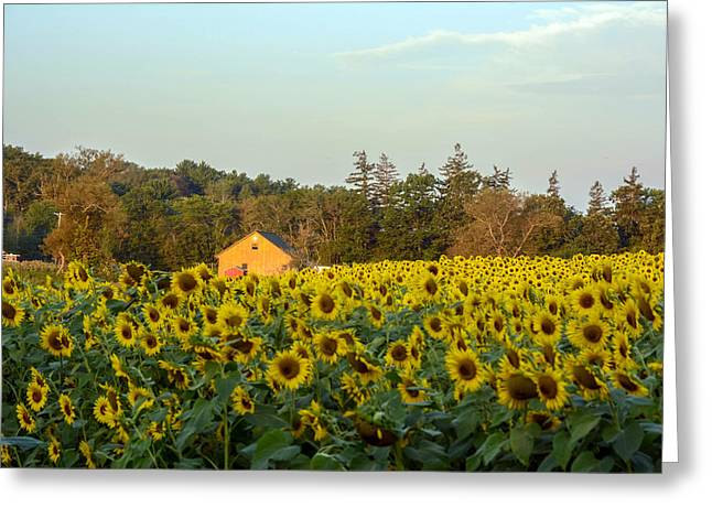 Sunflowers At Colby Farmstand Greeting Card by Nicole Freedman