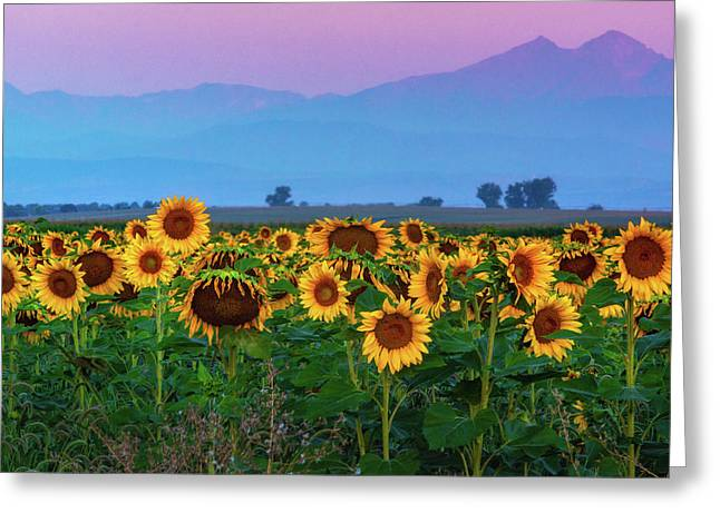 Sunflowers At Dawn Greeting Card