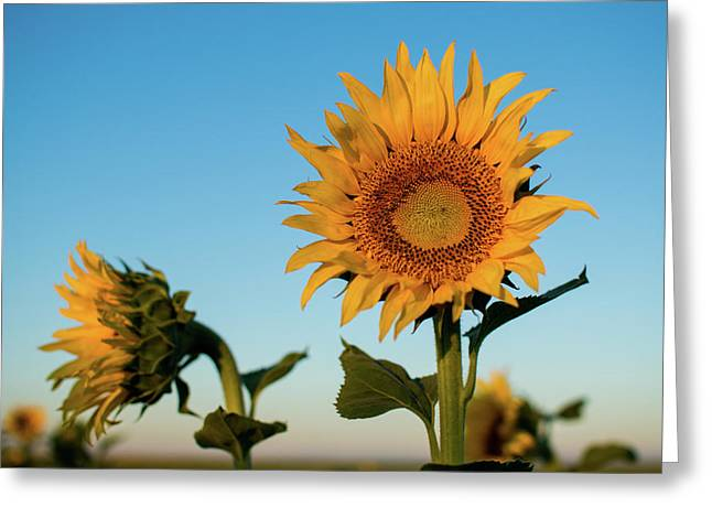 Sunflowers At Sunrise 1 Greeting Card