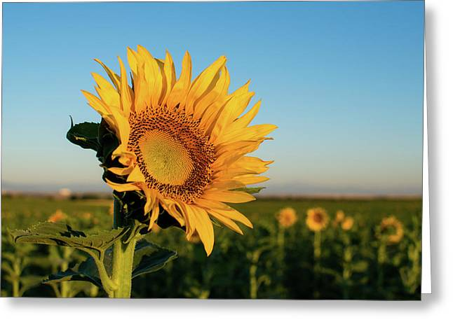 Sunflowers At Sunrise 2 Greeting Card