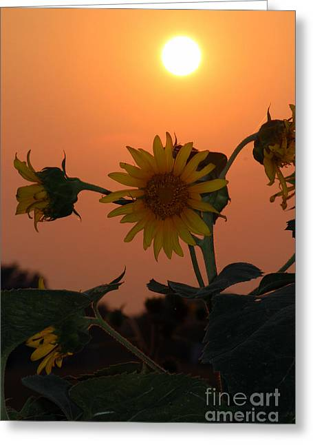 Sunflowers At Sunset Greeting Card by Kathy  White