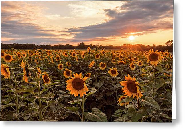 Sunflowers At Sunset Greeting Card