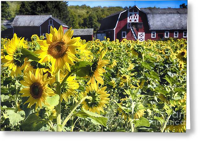 Sunflowers Field With A  Red Barn Greeting Card by George Oze