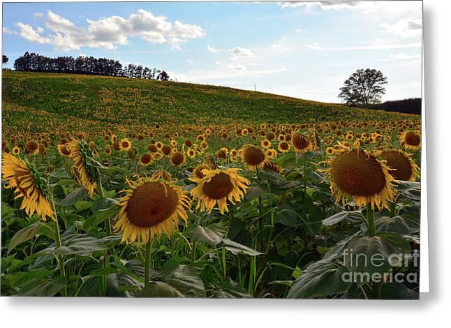 Sunflowers Fields  Greeting Card