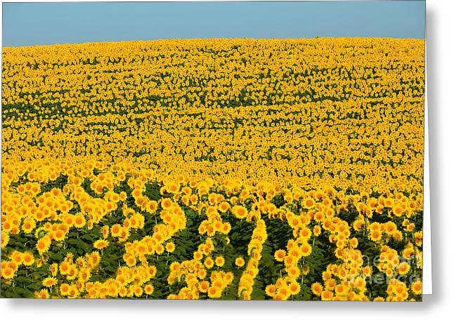 Sunflowers Galore Greeting Card by Catherine Sherman