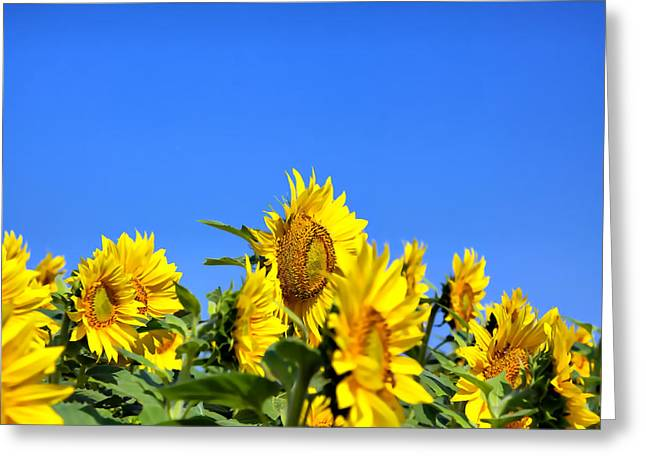 Maine Agriculture Greeting Cards - Sunflowers Greeting Card by Gary Smith