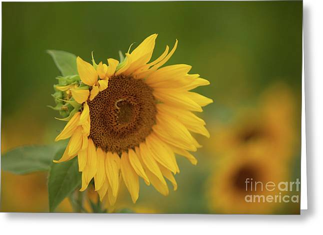 Sunflowers In Field Greeting Card
