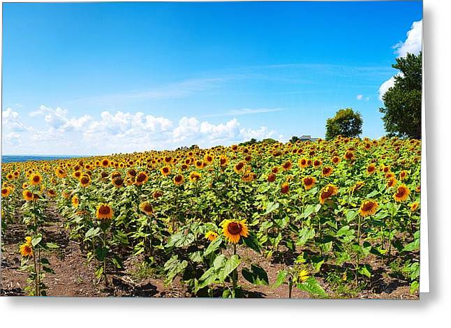 Greeting Card featuring the photograph Sunflowers In Ithaca New York by Paul Ge