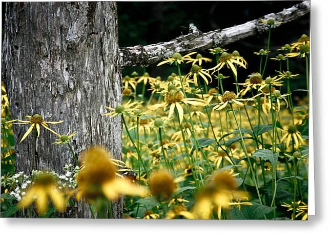 Sunflowers In North Carolina 2 Greeting Card by Jonathan Hansen