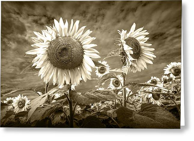 Sunflowers In Sepia Blooming In A Field Greeting Card