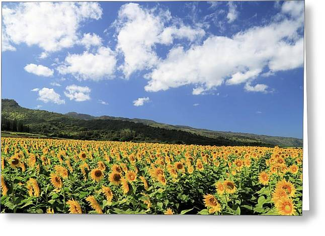 Sunflowers In Waialua Greeting Card