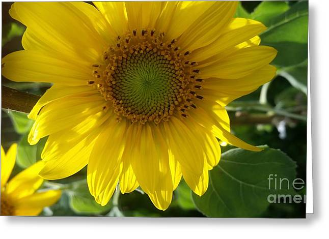 Sunflowers-just Bloomed Greeting Card