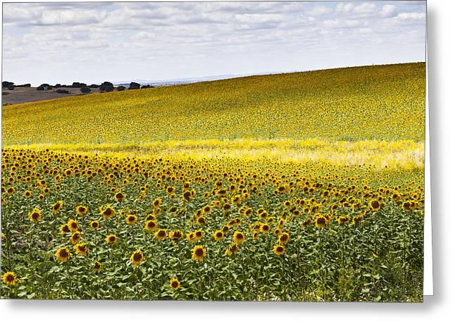 Sunflowers Greeting Card by Mauricio Reis
