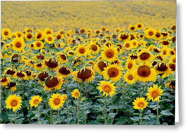 Sunflowers On A Cloudy Day Greeting Card by Lisa Evans