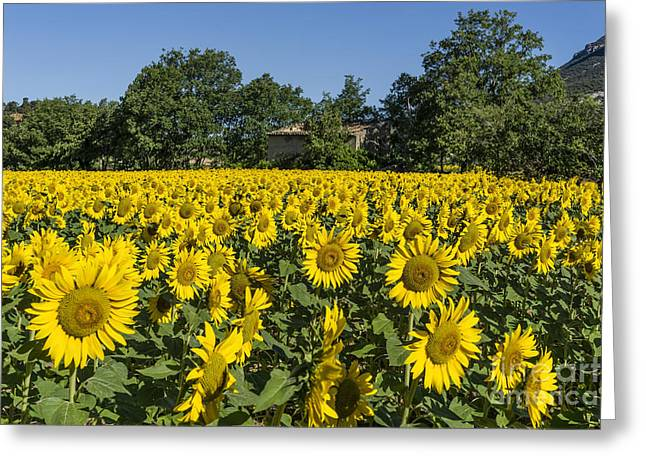 Greeting Card featuring the photograph Sunflowers Provence  by Juergen Held