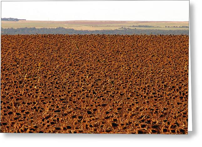 Sunflowers Ready For Harvesting Greeting Card by David Lee Thompson
