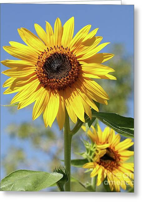 Sunflowers Greeting Card by Sabrina L Ryan