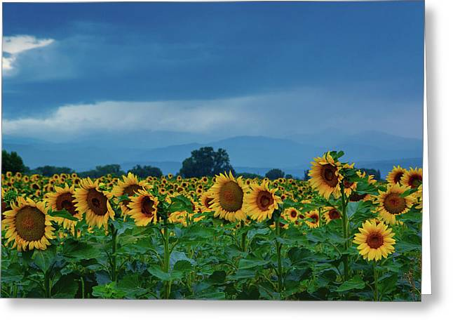 Sunflowers Under A Stormy Sky Greeting Card