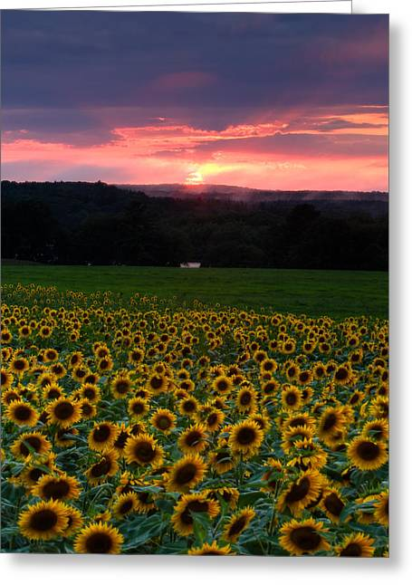 Sunflowers Under Red Skies Greeting Card