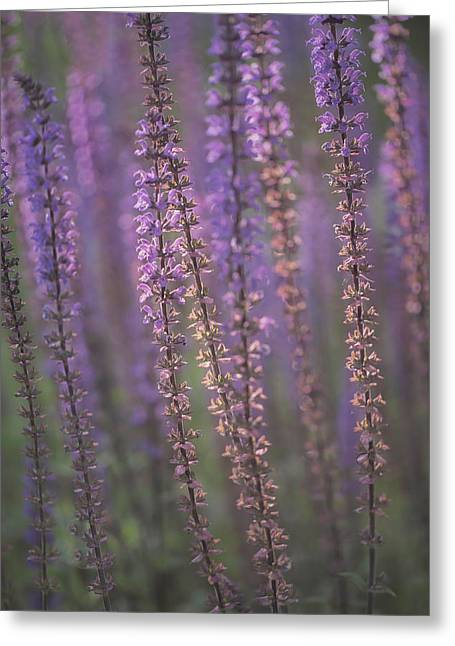 Sunlight On Lavender Greeting Card