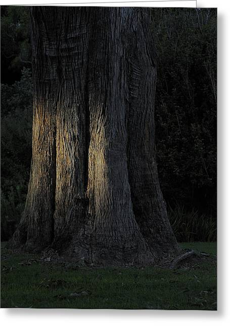 Sunlight On Treetrunk Greeting Card by Barry Culling